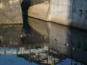 遊水地の鴨