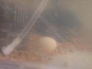 ミドリガメの産卵