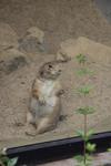 王子動物園のプレーリードッグ