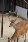 王子動物園の鹿