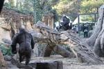 上野動物園のゴリラ